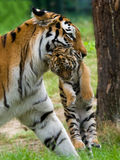 Siberian tiger with cub. Siberian tiger (Tiger Panthera tigris altaica) with a baby between her teeth stock photos