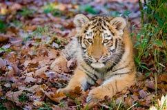Siberian Tiger Cub Royalty Free Stock Images