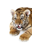 Siberian Tiger Cub royalty free stock image