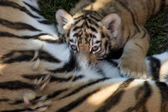 Siberian tiger cub. Drinking breast milk - weite Royalty Free Stock Photography