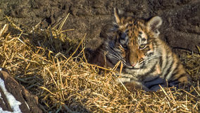 Siberian tiger cub in hay Royalty Free Stock Photo