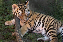 Siberian tiger cub. Is lying in the shade Royalty Free Stock Photography