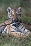 Siberian Tiger Cub (Panthera Tigris Altaica) Royalty Free Stock Image