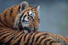 Siberian Tiger Cub (Panthera Tigris Altaica) Stock Images
