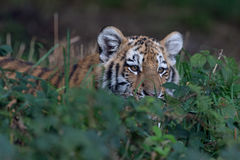 Siberian Tiger Cub (Panthera Tigris Altaica) Stock Photography