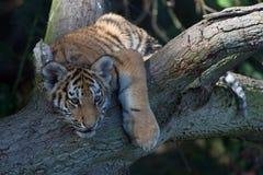 Siberian Tiger Cub(Panthera Tigris Altaica) Royalty Free Stock Photography