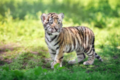 Siberian tiger cub standing on grass stock images