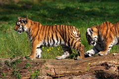 Siberian tiger cubs Royalty Free Stock Photos