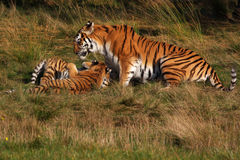 Siberian tiger with cubs Stock Photos