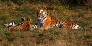 Siberian tiger with cubs Royalty Free Stock Photos