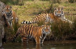 Siberian Tiger Cubs Stock Photography