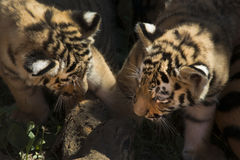 Siberian tiger cubs Stock Photos
