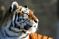 Siberian Tiger Deep in Thought Stock Photo