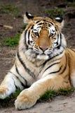 Siberian tiger (den Pantheratigris altaicaen) Arkivbilder