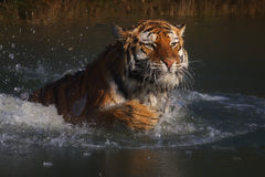 Siberian Tiger diving in frozen water Stock Photography