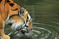 Siberian tiger drinking Stock Photo