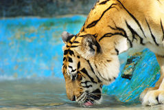 Siberian Tiger drinking stock photos