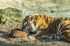 Siberian tiger eating a piece of meat. Royalty Free Stock Photography