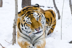 Siberian tiger eats. Siberian tiger (Panthera tigris altaica) eats a chicken royalty free stock photography