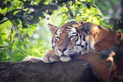 Siberian tiger emerges from the undergrowth Royalty Free Stock Photos