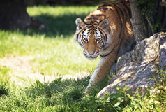 Siberian tiger emerges from the undergrowth. Young adult Siberian tiger, otherwise known as the Amur Tigers, emerges from the shade of the undergrowth Royalty Free Stock Image