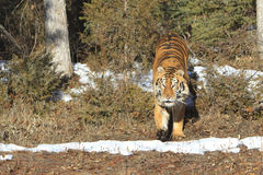 Siberian tiger exiting woods Royalty Free Stock Images