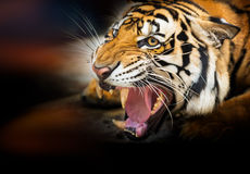Siberian tiger för morrande royaltyfria bilder