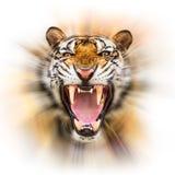 Siberian tiger för morrande arkivfoto