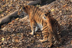 Siberian tiger family Royalty Free Stock Images