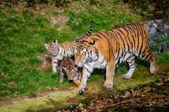 Siberian Tiger Family Royalty Free Stock Image