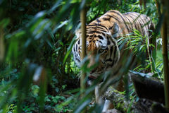 Siberian tiger in the forest Stock Images