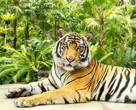 Siberian tiger. On forest background Stock Photo