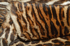 Siberian tiger fur coat. Closeup of siberian tiger fur coat Royalty Free Stock Image