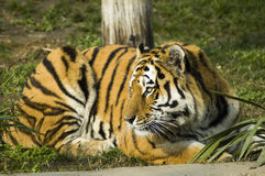 Siberian tiger. A great Amur or siberian tiger stock images
