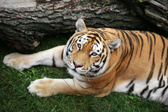 Siberian tiger in green grass Stock Images
