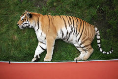 Siberian tiger in green grass Royalty Free Stock Images
