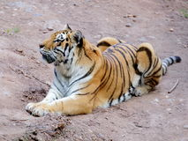 Siberian tiger on the ground portrait Royalty Free Stock Photo