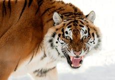 Siberian Tiger Growling Stock Photo