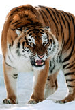 Siberian Tiger Growling Royalty Free Stock Photo