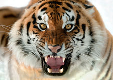 Siberian Tiger Growling Royalty Free Stock Photography