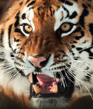 Siberian Tiger Growling Stock Image