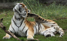 Siberian Tiger has an itch. Male Siberian Tiger scratching an itch Stock Photo