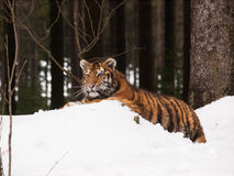 Siberian Tiger having rest in wild winter nature - Panthera tigris altaica Royalty Free Stock Photography