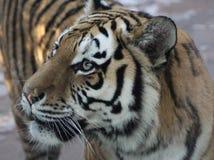 Siberian tiger head Royalty Free Stock Photography