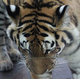 Siberian tiger head. Siberian tiger close up of head. Foto taken in Amersfoorts zoo in the netherland Stock Photography