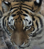 Siberian tiger head. Siberian tiger close up of head. Foto taken in Amersfoorts zoo in the netherland Royalty Free Stock Photos