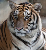 Siberian Tiger head and shoulders Stock Images