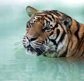 Siberian Tiger head and shoulders Stock Photos