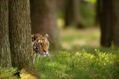 Siberian tiger hidden behind tree. Closeup head of dangerous animal taken look aside. Panthera tigris altaica royalty free stock photography