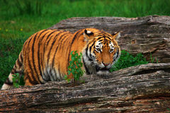 Siberian tiger hiding between two fallen trees Stock Photo